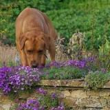 Dudley sniffing aubretia