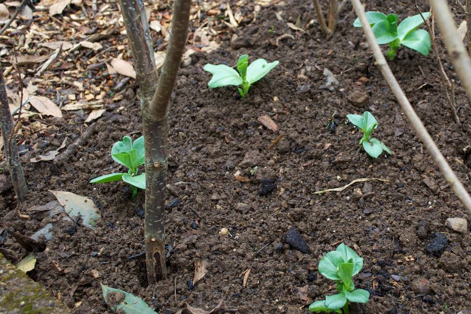 Rescued Broad Bean Seedlings
