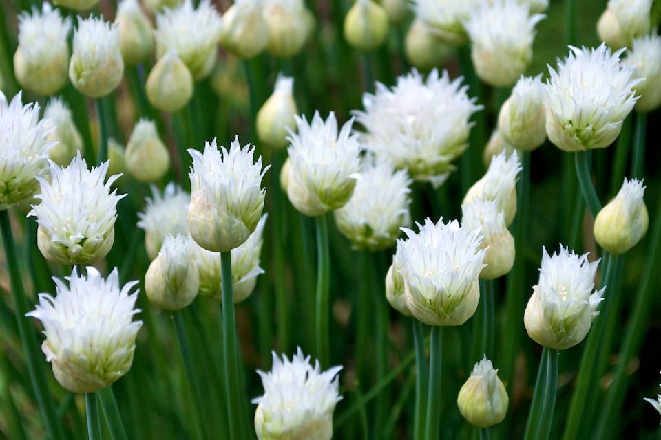 White Chives