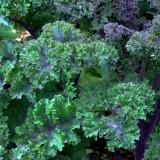 Red Bor & Scarlet Kale