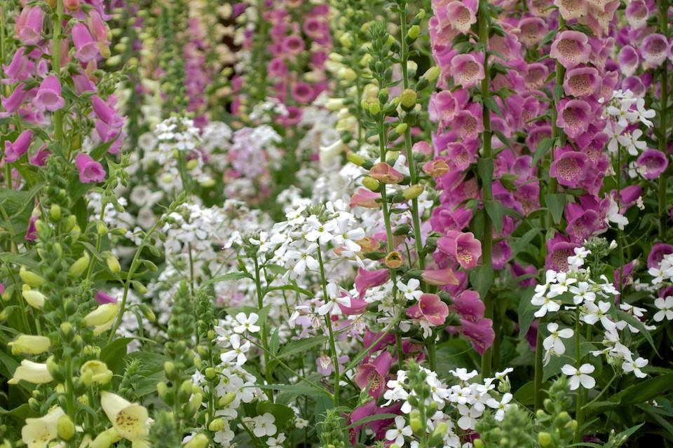 Foxgloves on Botanic Nursery & Gardens display