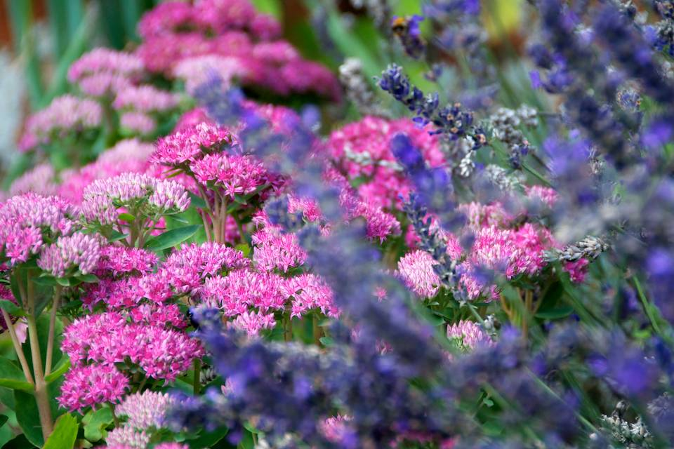 Sedum Spectabile Brilliant & Lavandula angustifolia 'Elizabeth'