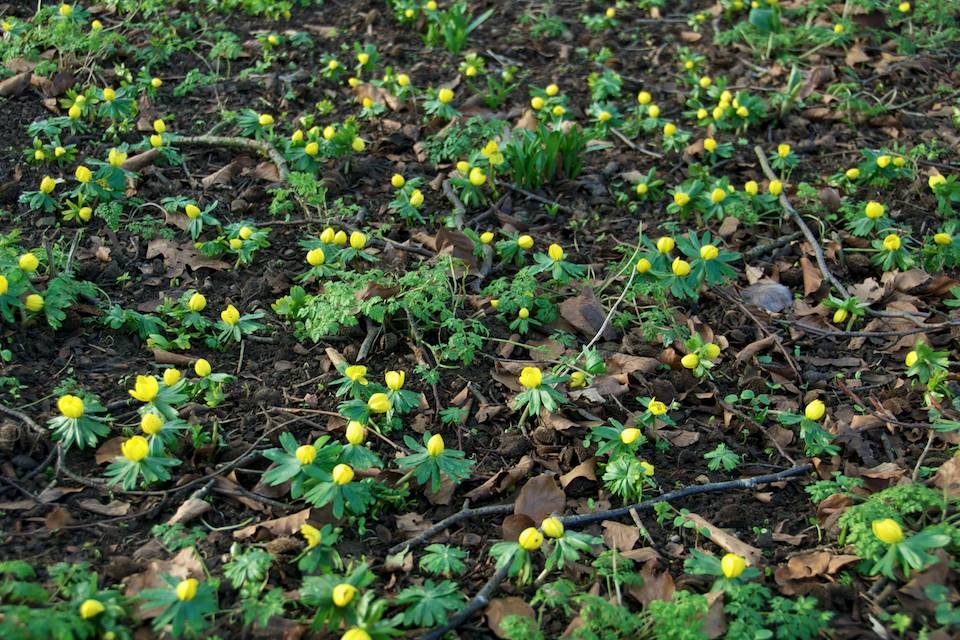 Eranthis - Winter aconite