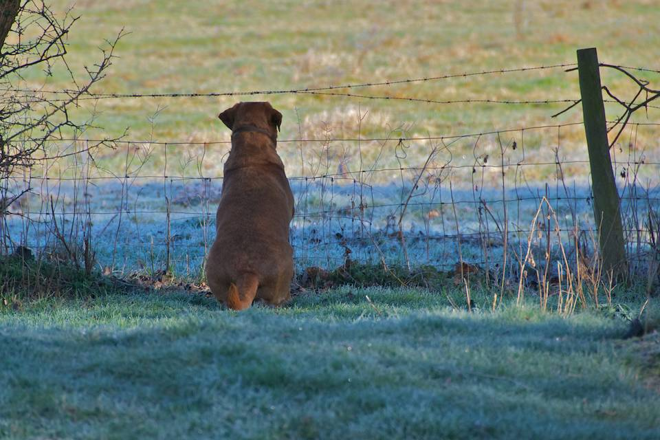 Dudley fox red labrador looking for greener pasturers