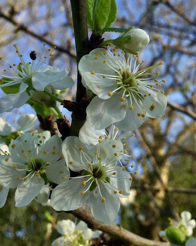 Delicate blossom of Prunus domestica Reine-Claude D'Oullins