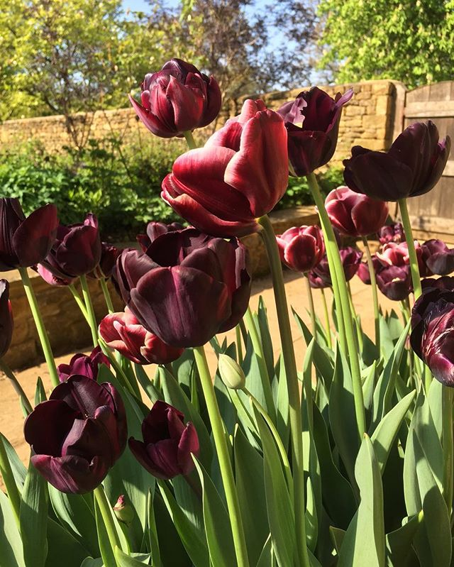 This year's dark tulip melange....