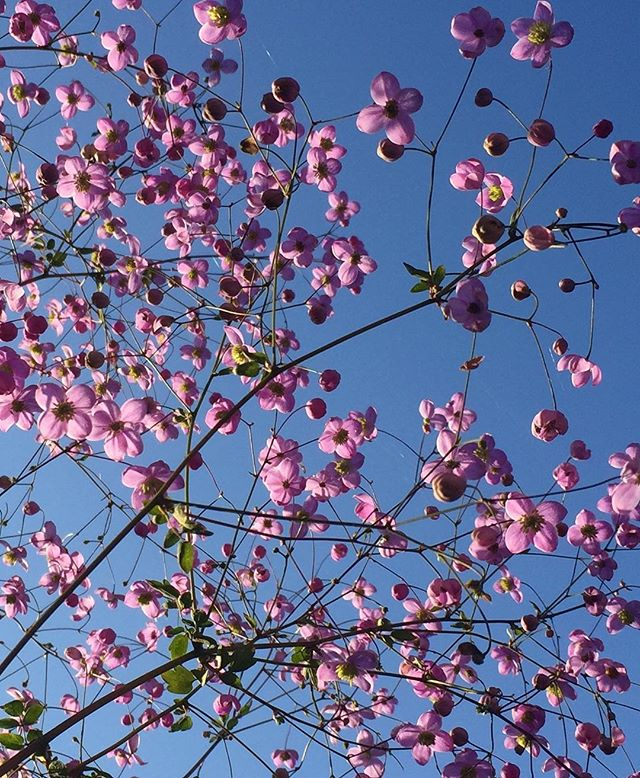 Blue sky dotted with pink.....